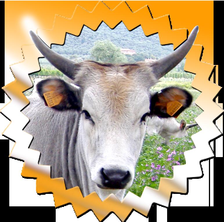 novita-vacche-maremmane
